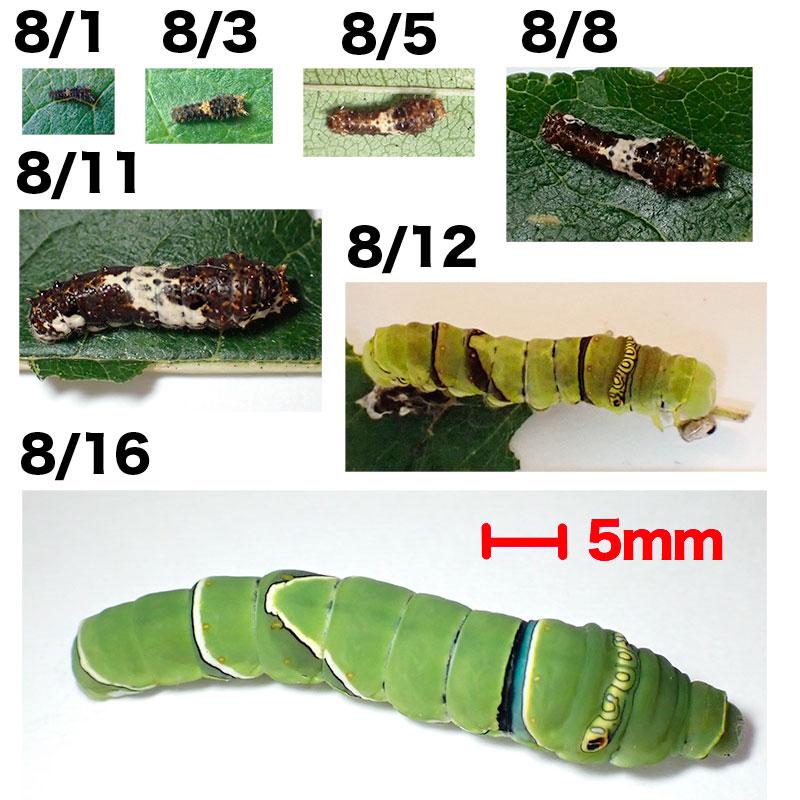 幼虫の大きさ比較