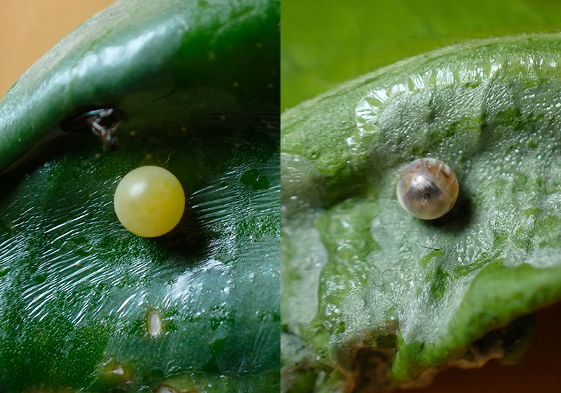 アゲハチョウの卵